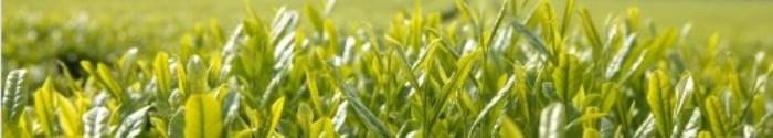 Bio-Teesorten